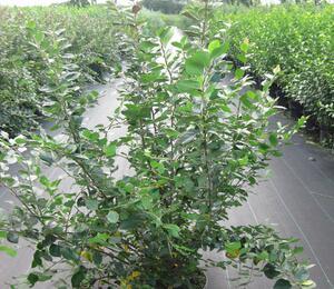 Skalník lesklý - Cotoneaster lucidus