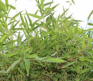 Bambus 'Great Wall' - Fargesia nitida 'Great Wall'