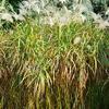 Ozdobnice cukrová - Miscanthus sacchariflorus