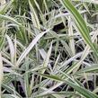 Plochoklásek ozdobný 'River Mist' - Chasmanthium latifolium 'River Mist'