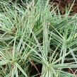 Ostřice 'Sparkler' - Carex phyllocephala 'Sparkler'