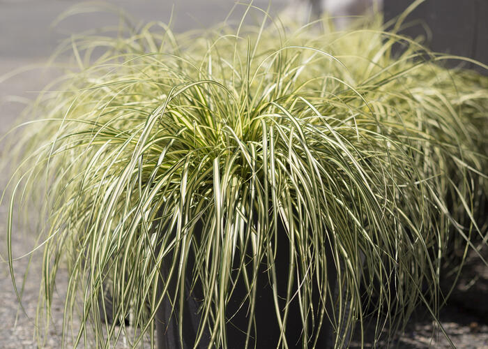 Ostřice ošimenská 'Ice Cream' - Carex oshimensis 'Ice Cream'