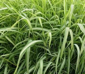 Chrastice rákosovitá 'Luteopicta' - Phalaris arundinacea 'Luteopicta'