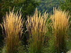 Třtina ostrokvětá 'Waldenbuch' - Calamagrostis acutiflora 'Waldenbuch'