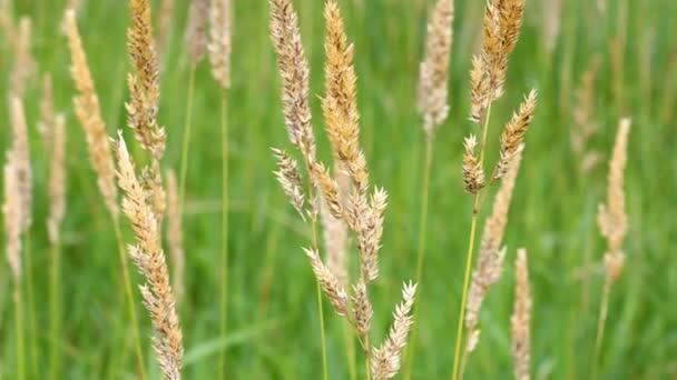 Chrastice rákosovitá - Phalaris arundinacea