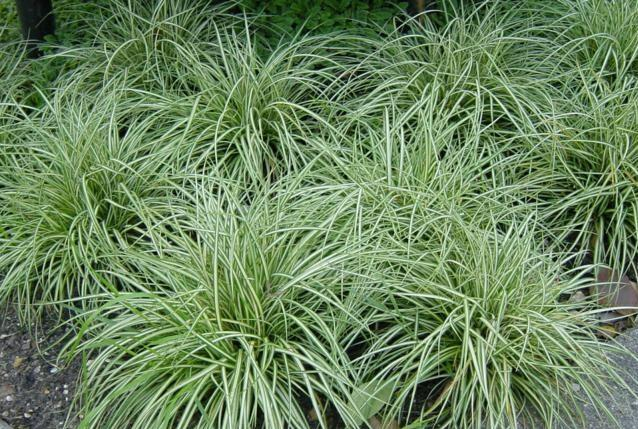 Ostřice 'Snow Line' - Carex conica 'Snow Line'