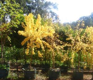 Jasan ztepilý 'Aurea Pendula' - Fraxinus excelsior 'Aurea Pendula'