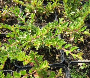 Skalník přitisklý 'Evergreen' - Cotoneaster adpressus 'Evergreen'