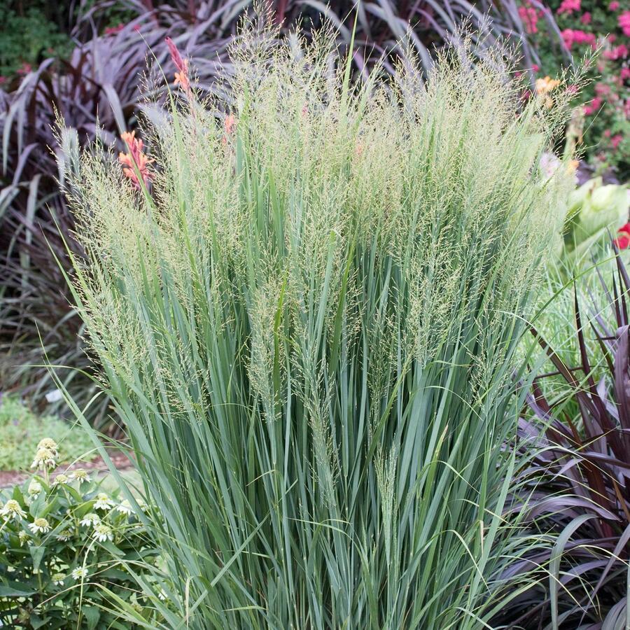 Proso prutnaté 'Northwind' - Panicum virgatum 'Northwind'