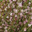 Čilimník 'Moyclare Pink' - Cytisus 'Moyclare Pink'