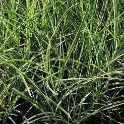 Bezkolenec rákosovitý 'Fontäne' - Molinia arundinacea 'Fontäne'