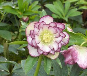 Čemeřice východní 'Double Ellen Picotee' - Helleborus orientalis 'Double Ellen Picotee'