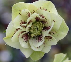 Čemeřice východní 'Double Ellen Yellow' - Helleborus orientalis 'Double Ellen Yellow'