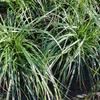 Ostřice ošimenská 'Evergreen' - Carex oshimensis 'Evergreen'