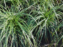 Ostřice ošimenská 'Evergreen' - Carex oshimensis 'Evergreen'