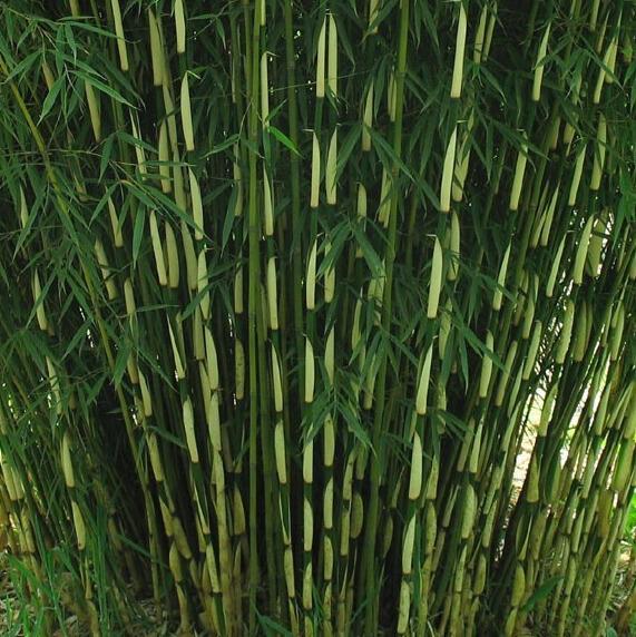 Bambus 'Pingwu' - Fargesia robusta 'Pingwu'