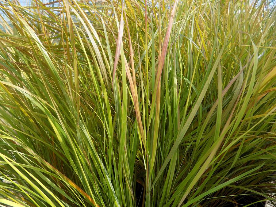 Kavyl - Stipa arundinacea