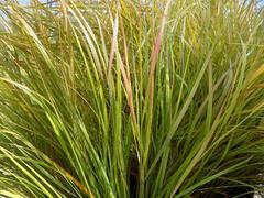 Kavyl - Stipa arundinacea (Anemanthele lessoniana)
