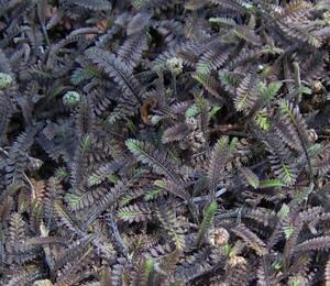 Mechovec 'Platts Black' - Cotula squalida 'Platts Black'