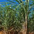 Cukrová třtina - Saccharum officinarum