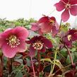 Čemeřice východní 'Red Hybrids' - Helleborus orientalis 'Red Hybrids'
