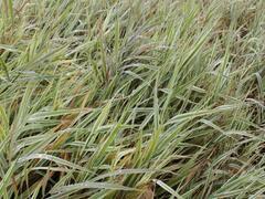 Chrastice rákosovitá 'Picta' - Phalaris arundinacea 'Picta'