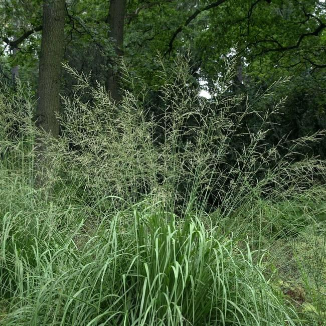 Bezkolenec rákosovitý 'Windspiel' - Molinia arundinacea 'Windspiel'