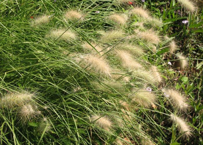 Dochan huňatý 'Nemira' - Pennisetum villosum 'Nemira'