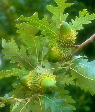 Dub cer - Quercus cerris