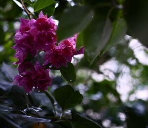 Bugenvilea lysá 'Flore pleno' - Bougainvillea glabra 'Flore pleno'