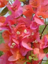 Bugenvilea 'Orange' - Bougainvillea buttiana 'Orange'
