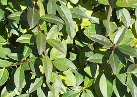 Ptačí zob obecný 'Atrovirens' - předpěstovaný živý plot - Ligustrum vulgare 'Atrovirens' - předpěstovaný živý plot