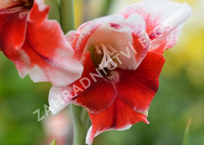 Mečík - Gladiolus červenobílý