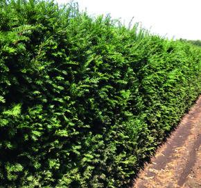 Tis červený - předpěstovaný živý plot - Taxus baccata - předpěstovaný živý plot