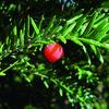 Tis červený - Taxus baccata - předpěstovaný živý plot