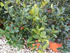 Cesmína obecná 'Nellie R. Stevens' - Ilex aquifolium 'Nellie R. Stevens'