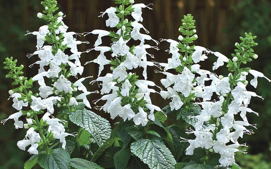 Salvia coccinea 'Summer Jewel White' - Salvia coccinea 'Summer Jewel White'