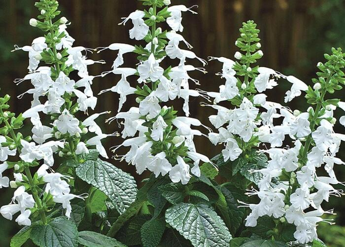 Šalvěj šarlatová 'Summer Jewel White' - Salvia coccinea 'Summer Jewel White'