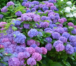 Hortenzie velkolistá - Hydrangea macrophylla 'Blauer Prinz'