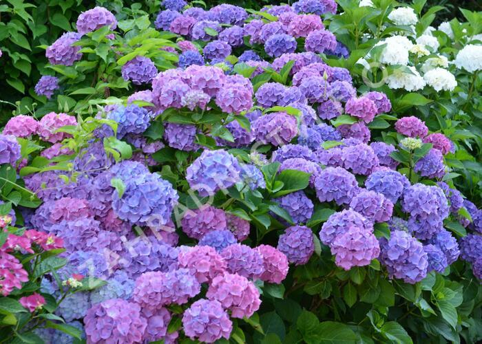 Hortenzie velkolistá 'Blauer Prinz' - Hydrangea macrophylla 'Blauer Prinz'