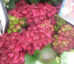 Hortenzie velkolistá 'Glowing Embers' - Hydrangea macrophylla 'Glowing Embers'