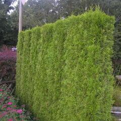 Zerav západní 'Smaragd' - předpěstovaný živý plot - Thuja occidentalis 'Smaragd' - předpěstovaný živý plot