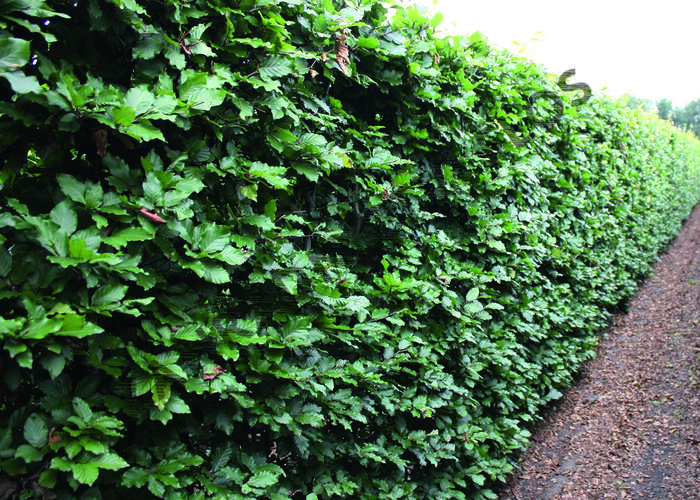 Buk lesní - předpěstovaný živý plot - Fagus sylvatica - předpěstovaný živý plot