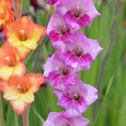 Mečík - Gladiolus fialový