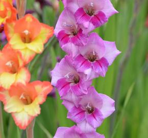 Mečík fialový - Gladiolus fialový