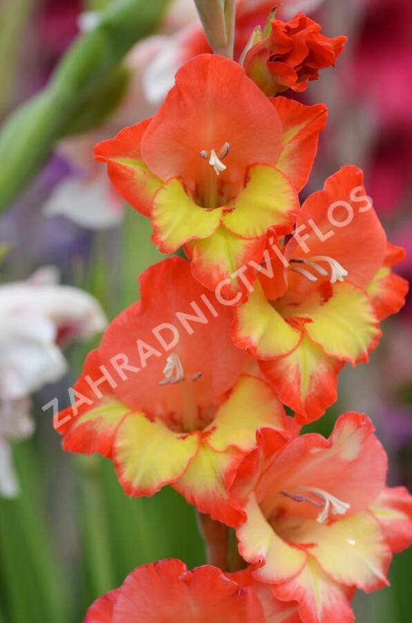 Mečík - Gladiolus červenožlutý