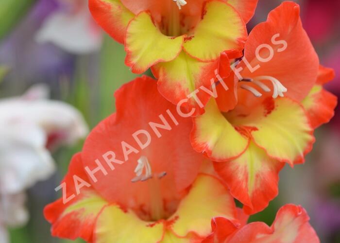 Mečík červenožlutý - Gladiolus červenožlutý