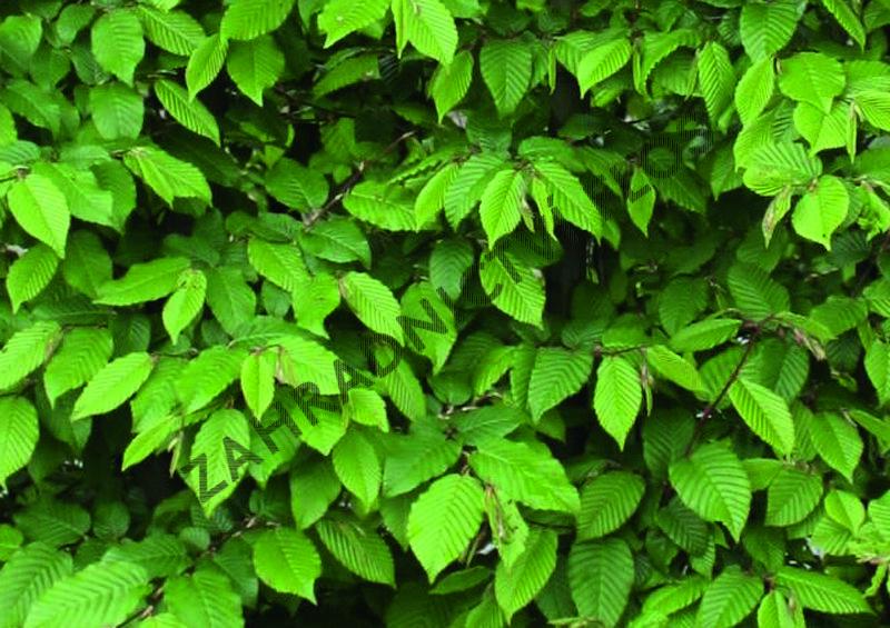 Habr obecný - předpěstovaný živý plot - Carpinus betulus - předpěstovaný živý plot