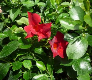 Diplandénie 'Sundaville Classic Red' - Mandevilla sanderi 'Sundaville Classic Red'