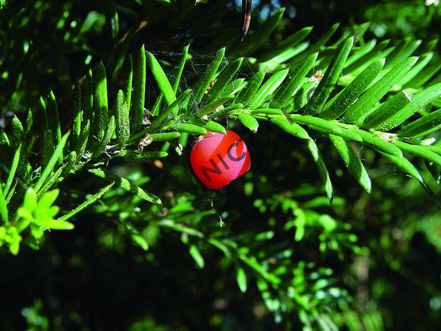 Tis červený - Taxus baccata - předpěstované bloky